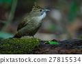 Ochraceous Bulbul bird (Alophoixus ochraceus) 27815534
