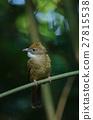 Ochraceous Bulbul bird (Alophoixus ochraceus) 27815538