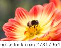 등에, 암컷, 꽃등에 27817964