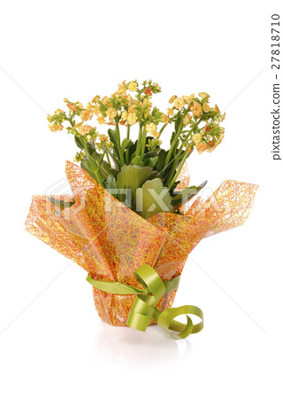 flowering kalanchoe wrapped as a gift  27818710