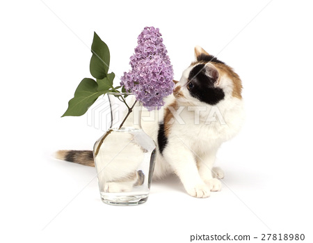 tricolor kitten and lilac branch 27818980