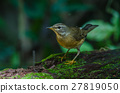 Eyebrowed Thrush Bird (Turdus obscures) 27819050