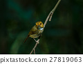Rufous-browed Flycatcher perch on branch 27819063