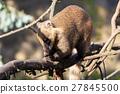 animal, coati, nasua 27845500