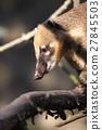 nasua, coati, animal 27845503