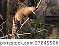 nasua, coati, animal 27845506