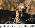 nasua, coati, animal 27845508