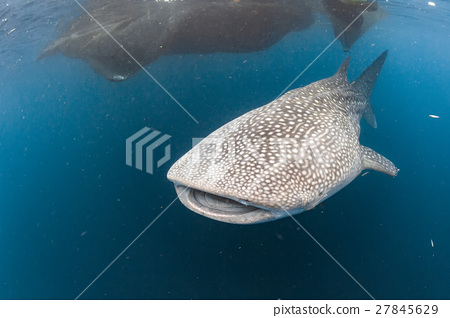 cutted fin finning Whale Shark underwater 27845629