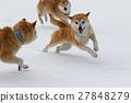 dog, dogs, Shiba 27848279