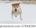 雪和Shiba Inu 27848280