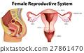 diagram, reproductive, female 27861470