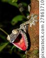 Leaf-tail Gecko, Uroplatus fimbriatus, Madagascar 27863710