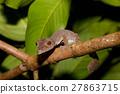 leaf-tailed gecko Uroplatus fimbriatus, madagascar 27863715