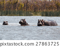 博茨瓦纳 河马 非洲 27863725