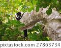 lemur, madagascar, black 27863734