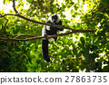 lemur, black, white 27863735