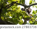 lemur, madagascar, black 27863736