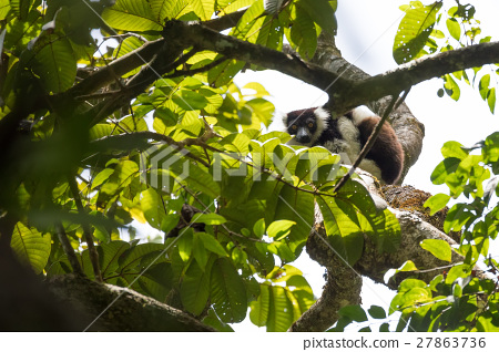 Black-and-white ruffed lemur (Varecia variegata) 27863736