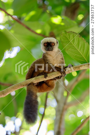 white-headed lemur (Eulemur albifrons), Madagascar 27863737