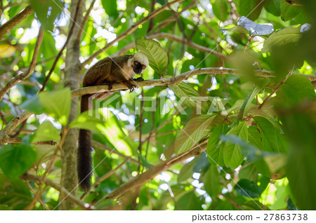 white-headed lemur (Eulemur albifrons), Madagascar 27863738