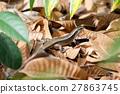zonosaurus, girdled, madagascar 27863745