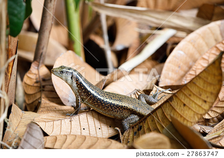 Madagascar girdled lizard Zonosaurus 27863747