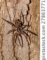 huntsman spider on tree trunk Madagascar 27863771