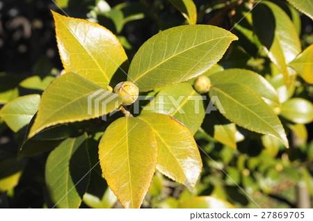 Sasanqua的芽 27869705
