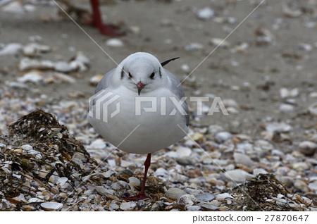 Seagull 27870647