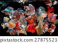 Action of many beautiful bettas 27875523