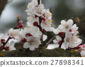 Cherry flowers on branch tree at the springtime in 27898341