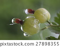 Ripe green berries, closeup shot 27898355