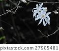 シデコブシの花 ( 2016年春4月 岐阜県中津川市 ) 27905481