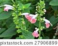 ดอกไม้ของ Salvia 27906899