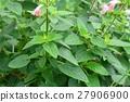 ดอกไม้ของ Salvia 27906900