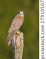 Common Kestrel, Falco tinnunculus, little bird 27910507