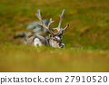 Svalbard Reindeer, Rangifer tarandus, animal 27910520
