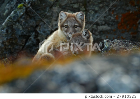 Arctic Fox, Vulpes lagopus, two young, in nature 27910525