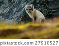 Arctic Fox, Vulpes lagopus, cute animal portrait 27910527