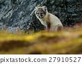 cute fox lagopus 27910527