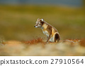 Arctic Fox, Vulpes lagopus, two young, in nature 27910564