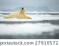 Lying polar bear on drift ice arctic Svalbard 27910572