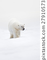 Big polar bear on drift ice with snow, clear white 27910573