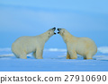 Polar bear conflict with open snout in Svalbard 27910690
