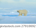 Big polar bear on drift ice edge with snow 27910692