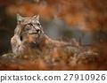 Eurasian Lynx hidden in orange oak branch 27910926