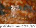 Eurasian Lynx, portrait of wild cat in orange 27910927