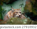 Eurasian Lynx, portrait of cat hidden in stone 27910932
