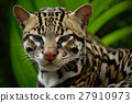Detail portrait of ocelot, nice cat margay sitting 27910973