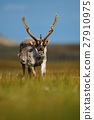 Reindeer, Rangifer tarandus, with massive antlers 27910975